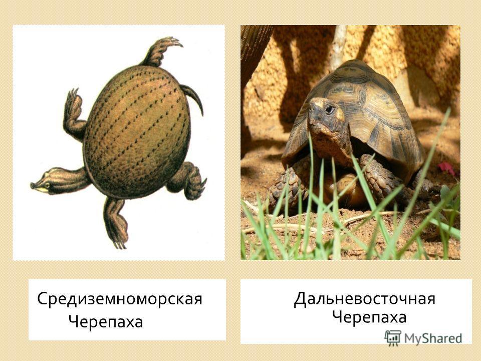 Средиземноморская Черепаха Дальневосточная Черепаха