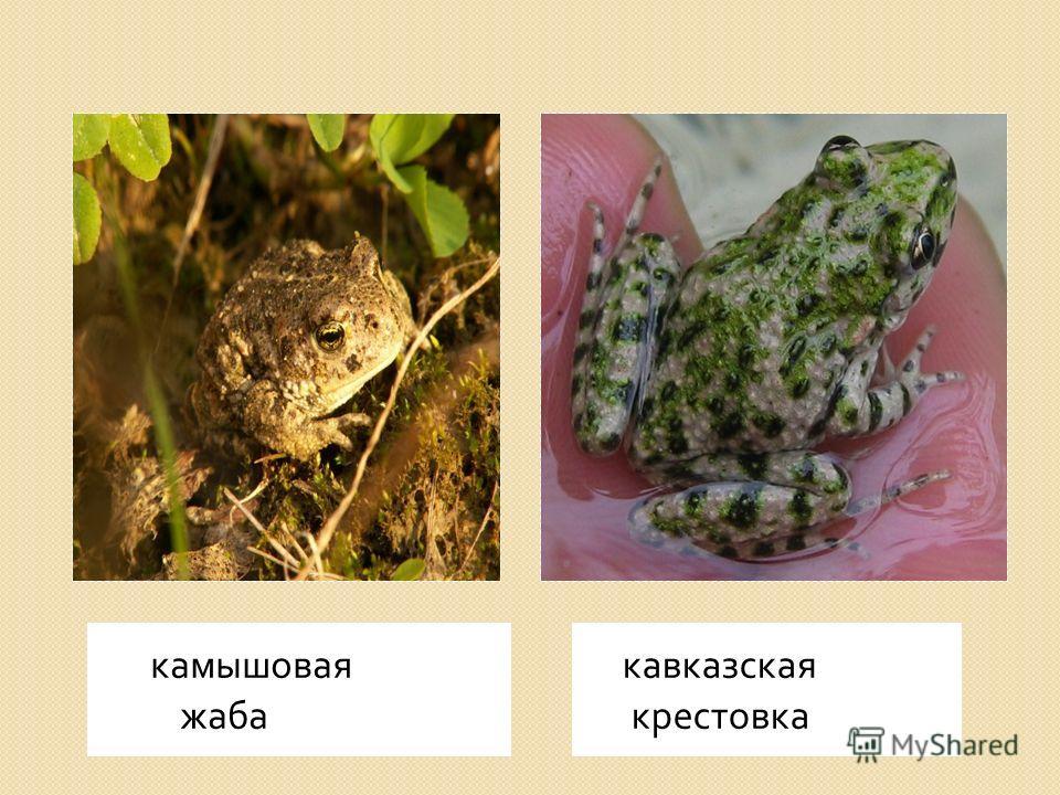 камышовая жаба кавказская крестовка
