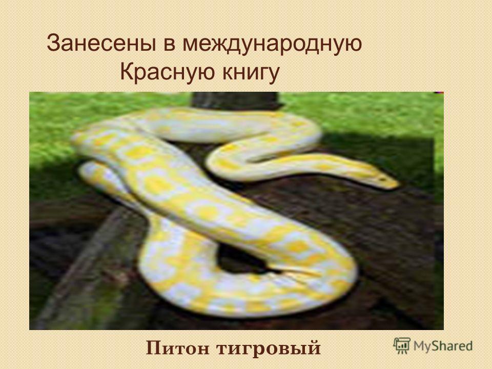 Занесены в международную Красную книгу Питон тигровый