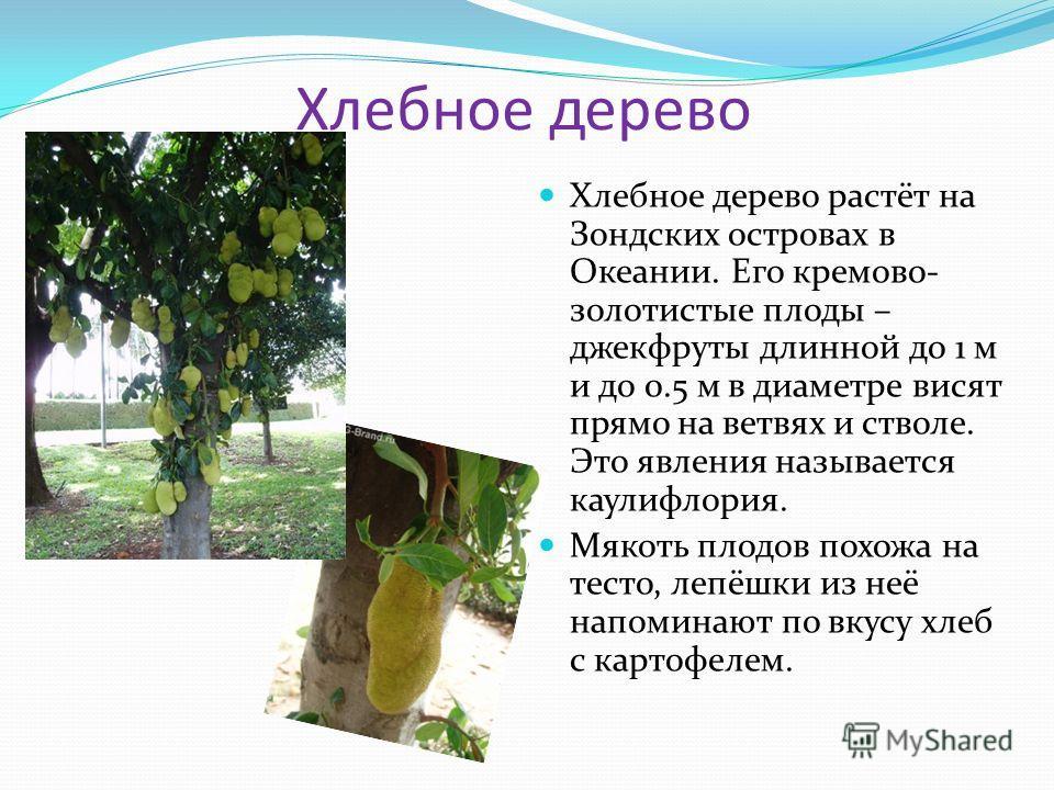 Хлебное дерево Хлебное дерево растёт на Зондских островах в Океании. Его кремово- золотистые плоды – джекфруты длинной до 1 м и до 0.5 м в диаметре висят прямо на ветвях и стволе. Это явления называется каулифлория. Мякоть плодов похожа на тесто, леп