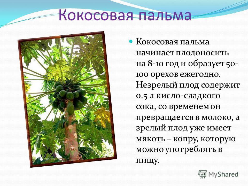 Кокосовая пальма Кокосовая пальма начинает плодоносить на 8-10 год и образует 50- 100 орехов ежегодно. Незрелый плод содержит 0.5 л кисло-сладкого сока, со временем он превращается в молоко, а зрелый плод уже имеет мякоть – копру, которую можно употр