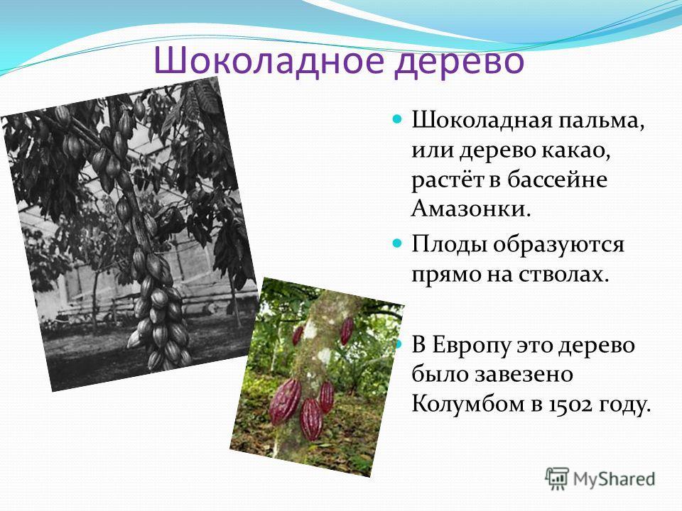 Шоколадное дерево Шоколадная пальма, или дерево какао, растёт в бассейне Амазонки. Плоды образуются прямо на стволах. В Европу это дерево было завезено Колумбом в 1502 году.