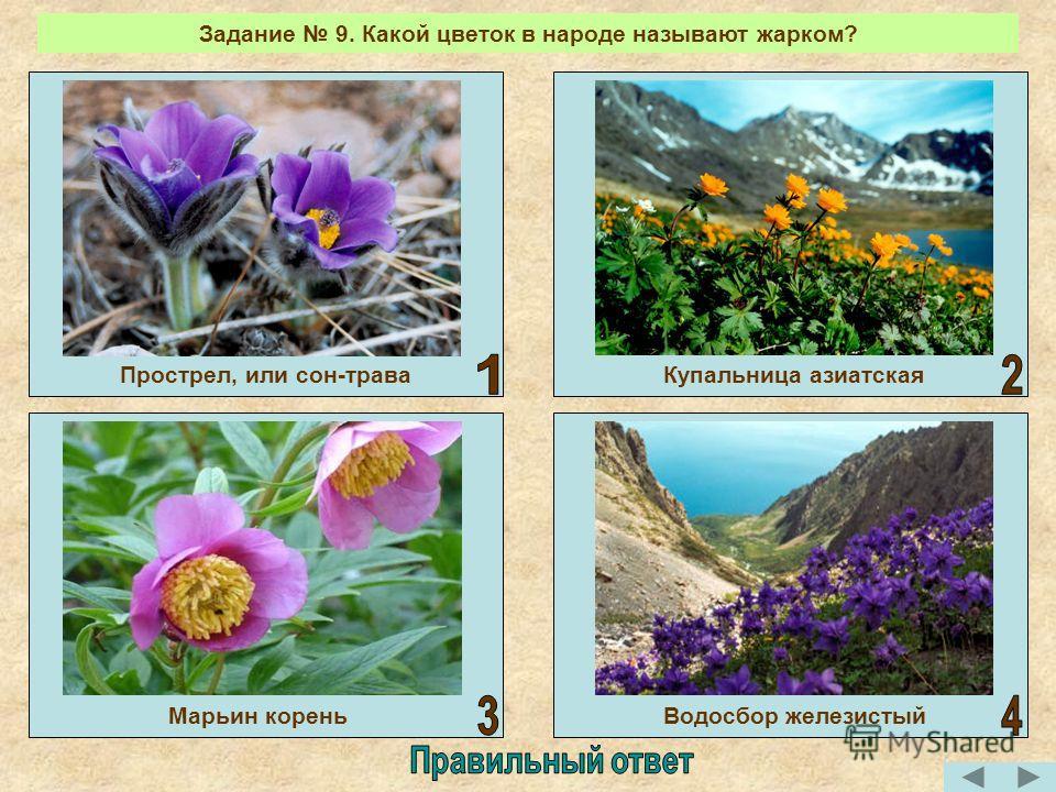 Задание 9. Какой цветок в народе называют жарком? Купальница азиатскаяПрострел, или сон-трава Водосбор железистыйМарьин корень