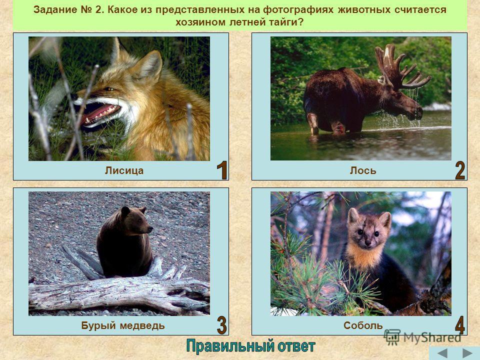 Бурый медведь Задание 2. Какое из представленных на фотографиях животных считается хозяином летней тайги? ЛисицаЛось Соболь Бурый медведь