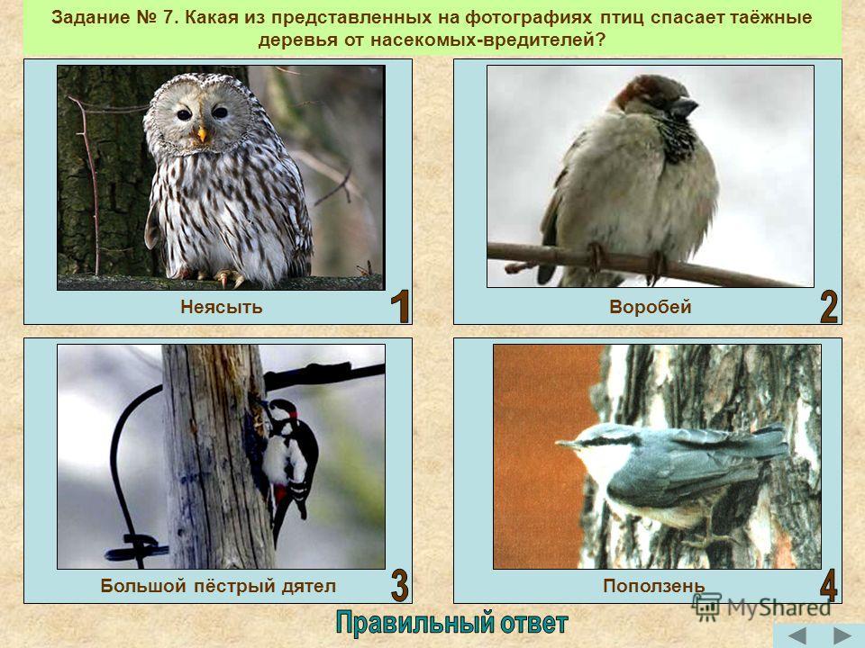 Задание 7. Какая из представленных на фотографиях птиц спасает таёжные деревья от насекомых-вредителей? Большой пёстрый дятел НеясытьВоробей Поползень