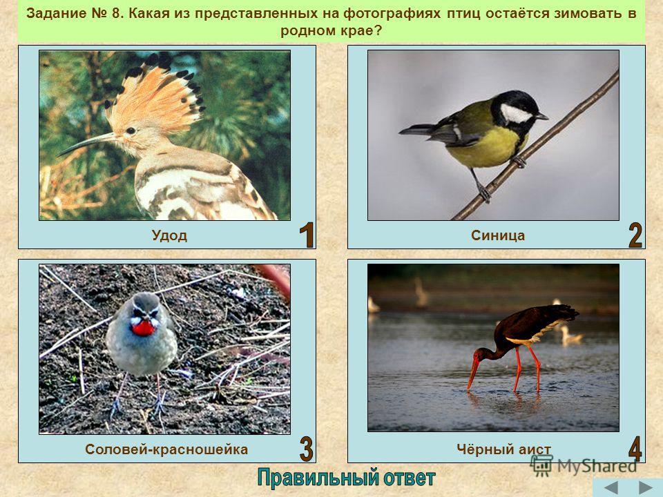 Задание 8. Какая из представленных на фотографиях птиц остаётся зимовать в родном крае? УдодСиницаСоловей-красношейкаЧёрный аист