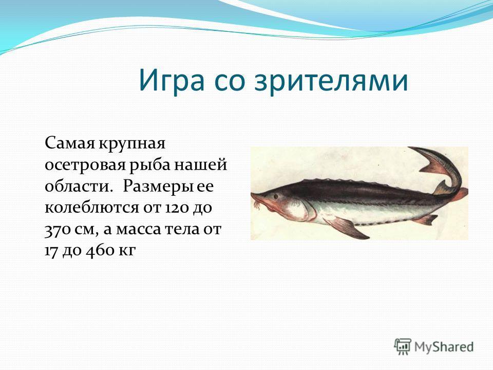 Игра со зрителями Самая крупная осетровая рыба нашей области. Размеры ее колеблются от 120 до 370 см, а масса тела от 17 до 460 кг