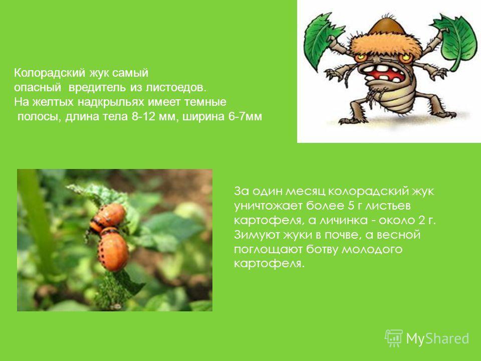 За один месяц колорадский жук уничтожает более 5 г листьев картофеля, а личинка - около 2 г. Зимуют жуки в почве, а весной поглощают ботву молодого картофеля. Колорадский жук самый опасный вредитель из листоедов. На желтых надкрыльях имеет темные пол