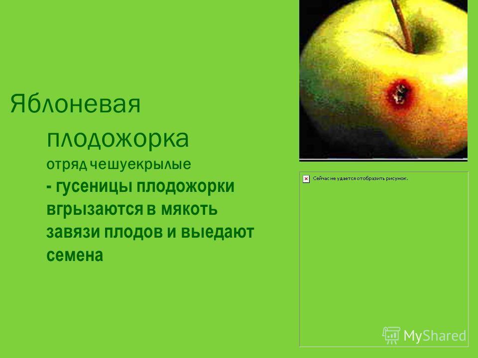 Яблоневая плодожорка отряд чешуекрылые - гусеницы плодожорки вгрызаются в мякоть завязи плодов и выедают семена