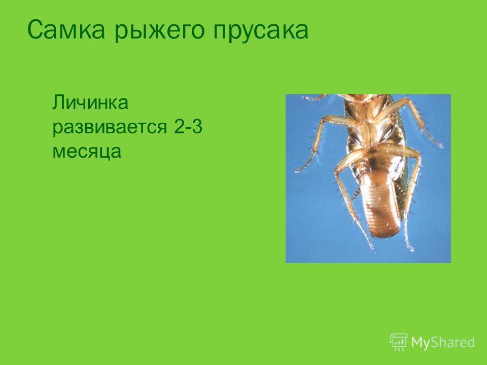 Самка рыжего прусака Личинка развивается 2-3 месяца