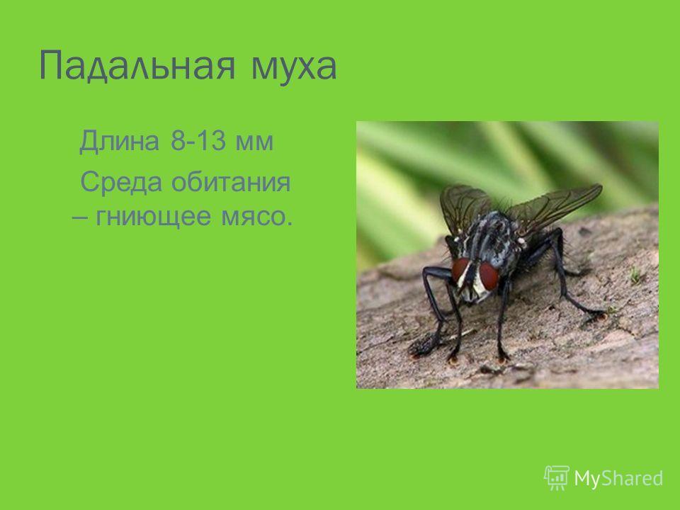 Падальная муха Длина 8-13 мм Среда обитания – гниющее мясо.