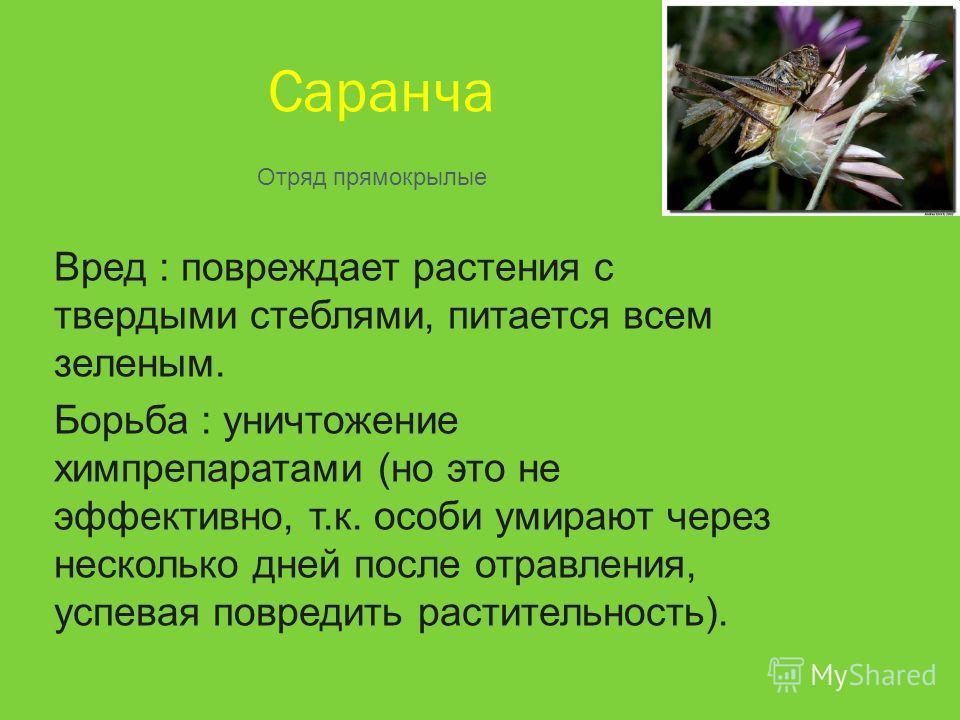 Саранча Вред : повреждает растения с твердыми стеблями, питается всем зеленым. Борьба : уничтожение химпрепаратами (но это не эффективно, т.к. особи умирают через несколько дней после отравления, успевая повредить растительность). Отряд прямокрылые