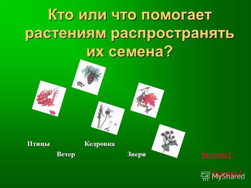 Кто или что помогает растениям распространять их семена? Птицы Ветер Кедровка ЗвериЗадание 1 Задание 2