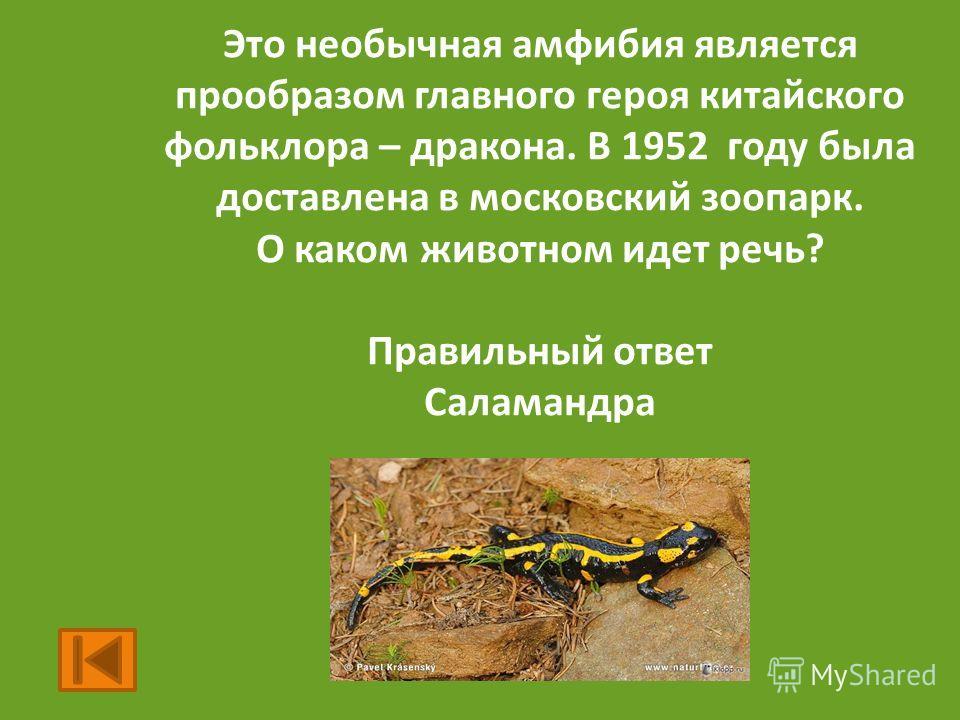 Это необычная амфибия является прообразом главного героя китайского фольклора – дракона. В 1952 году была доставлена в московский зоопарк. О каком животном идет речь? Правильный ответ Саламандра