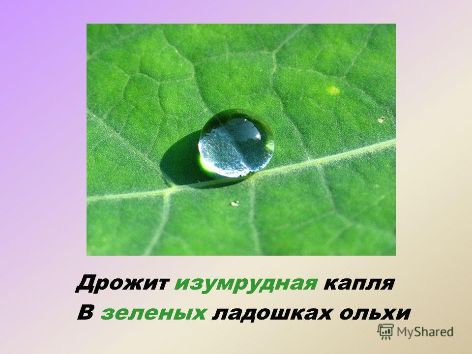 Дрожит изумрудная капля В зеленых ладошках ольхи