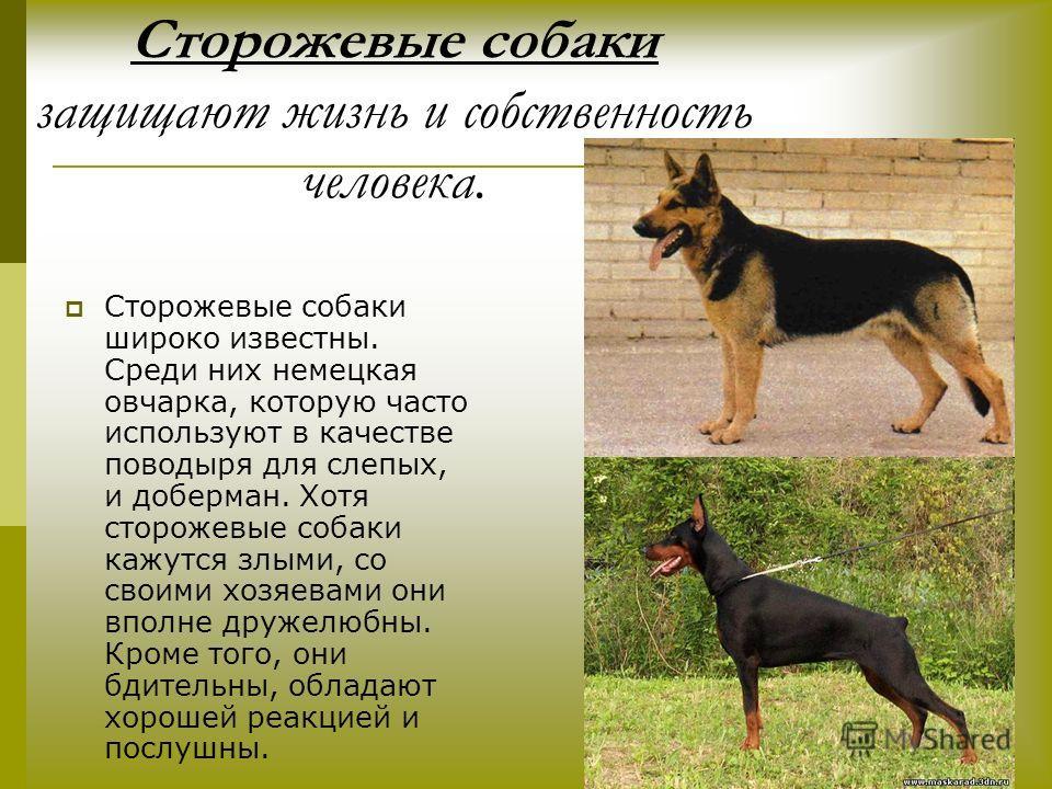 Сторожевые собаки защищают жизнь и собственность человека. Сторожевые собаки широко известны. Среди них немецкая овчарка, которую часто используют в качестве поводыря для слепых, и доберман. Хотя сторожевые собаки кажутся злыми, со своими хозяевами о