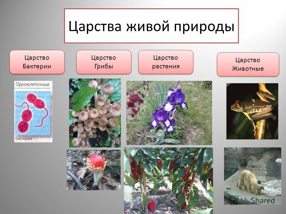 Царства живой природы Царство Бактерии Царство Грибы Царство Грибы Царство растения Царство Животные