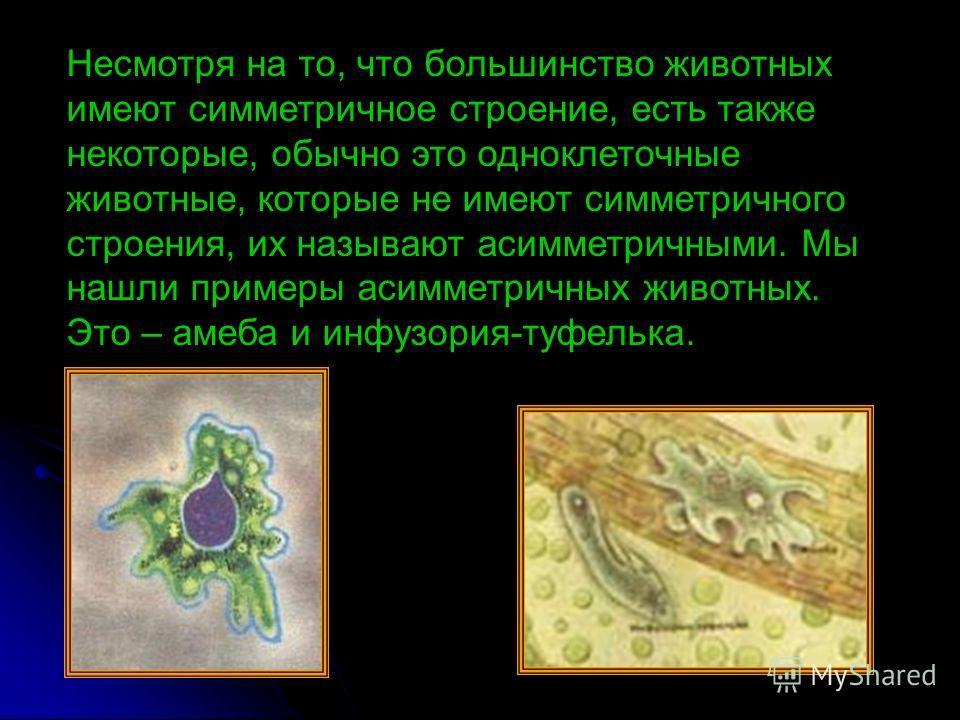 Несмотря на то, что большинство животных имеют симметричное строение, есть также некоторые, обычно это одноклеточные животные, которые не имеют симметричного строения, их называют асимметричными. Мы нашли примеры асимметричных животных. Это – амеба и