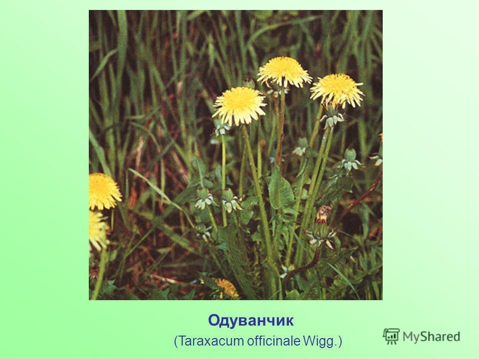 Одуванчик (Taraxacum officinale Wigg.)