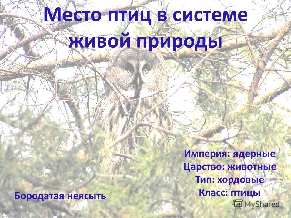 Место птиц в системе живой природы Империя: ядерные Царство: животные Тип: хордовые Класс: птицы Бородатая неясыть