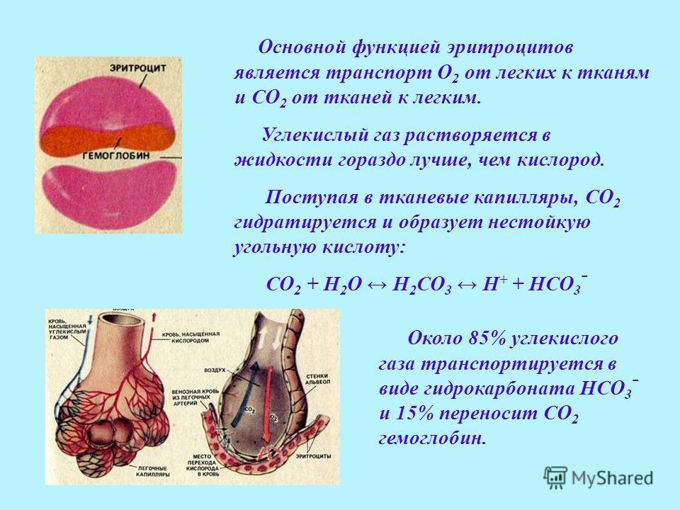 Основной функцией эритроцитов является транспорт О 2 от легких к тканям и СО 2 от тканей к легким. Углекислый газ растворяется в жидкости гораздо лучше, чем кислород. Поступая в тканевые капилляры, СО 2 гидратируется и образует нестойкую угольную кис