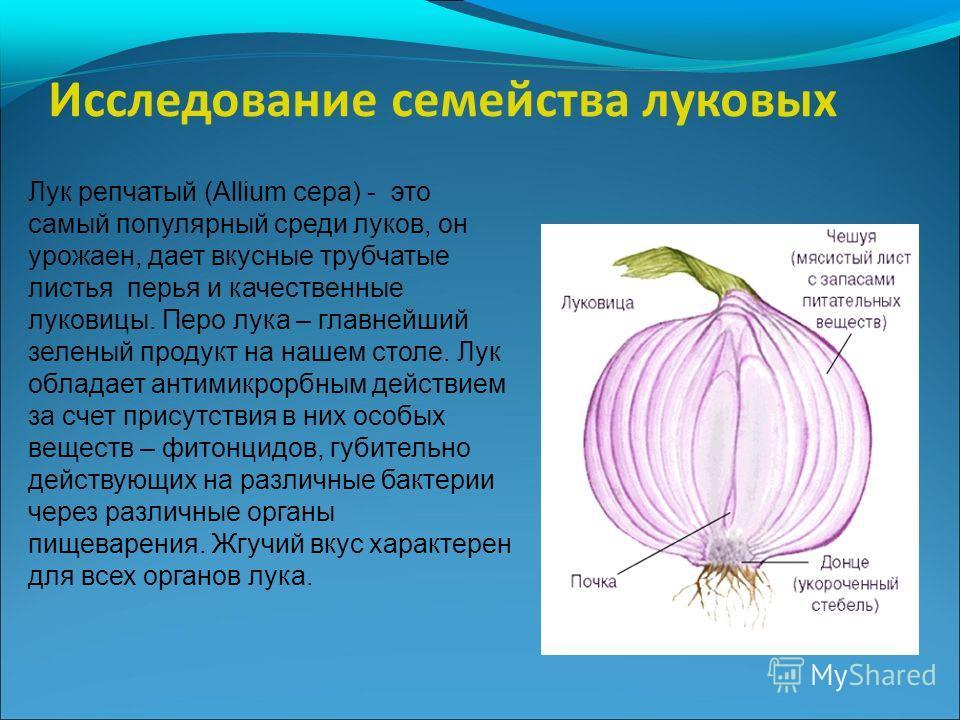 Лук репчатый (Allium cepa) - это самый популярный среди луков, он урожаен, дает вкусные трубчатые листья перья и качественные луковицы. Перо лука – главнейший зеленый продукт на нашем столе. Лук обладает антимикрорбным действием за счет присутствия в