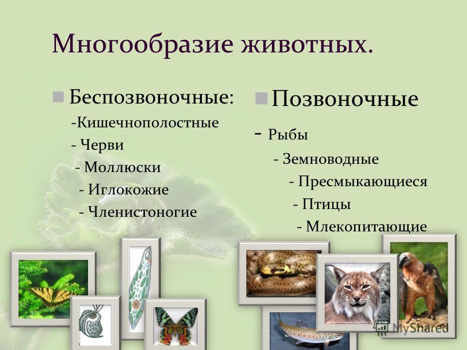 Многообразие животных. Беспозвоночные: -Кишечнополостные - Черви - Моллюски - Иглокожие - Членистоногие Позвоночные - Рыбы - Земноводные - Пресмыкающиеся - Птицы - Млекопитающие