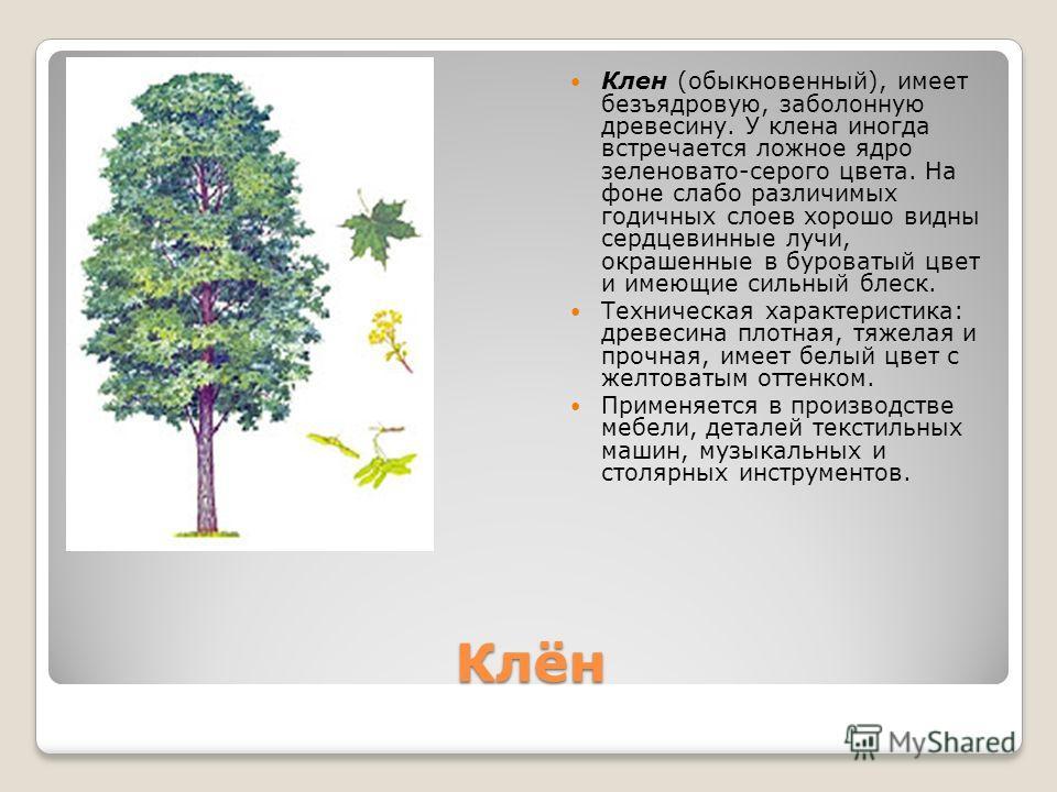 Клён Клен (обыкновенный), имеет безъядровую, заболонную древесину. У клена иногда встречается ложное ядро зеленовато-серого цвета. На фоне слабо различимых годичных слоев хорошо видны сердцевинные лучи, окрашенные в буроватый цвет и имеющие сильный б