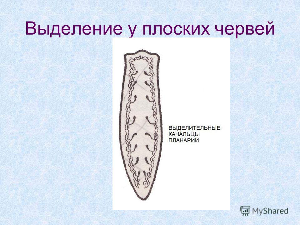 Выделение у плоских червей