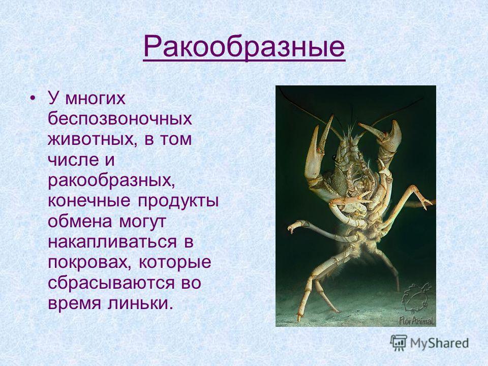 Ракообразные У многих беспозвоночных животных, в том числе и ракообразных, конечные продукты обмена могут накапливаться в покровах, которые сбрасываются во время линьки.