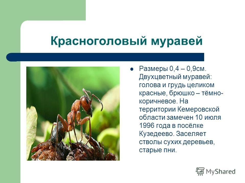 Красноголовый муравей Размеры 0,4 – 0,9см. Двухцветный муравей: голова и грудь целиком красные, брюшко – тёмно- коричневое. На территории Кемеровской области замечен 10 июля 1996 года в посёлке Кузедеево. Заселяет стволы сухих деревьев, старые пни.