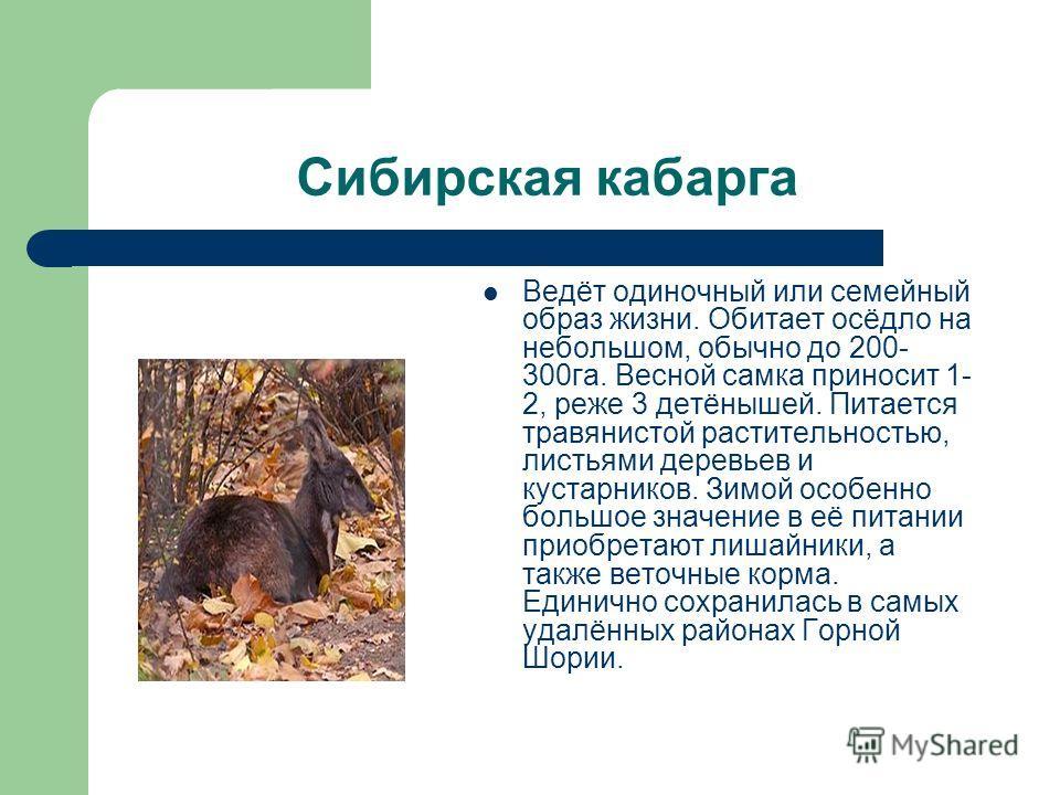 Сибирская кабарга Ведёт одиночный или семейный образ жизни. Обитает осёдло на небольшом, обычно до 200- 300га. Весной самка приносит 1- 2, реже 3 детёнышей. Питается травянистой растительностью, листьями деревьев и кустарников. Зимой особенно большое