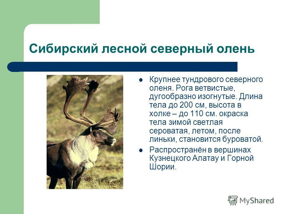 Сибирский лесной северный олень Крупнее тундрового северного оленя. Рога ветвистые, дугообразно изогнутые. Длина тела до 200 см, высота в холке – до 110 см. окраска тела зимой светлая сероватая, летом, после линьки, становится буроватой. Распространё