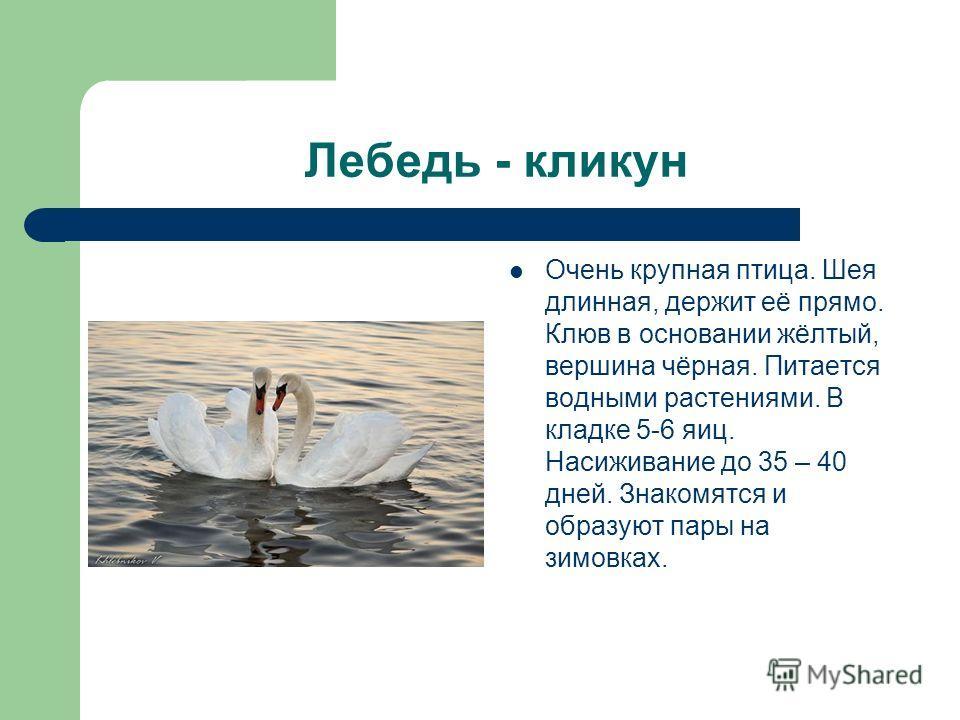 Лебедь - кликун Очень крупная птица. Шея длинная, держит её прямо. Клюв в основании жёлтый, вершина чёрная. Питается водными растениями. В кладке 5-6 яиц. Насиживание до 35 – 40 дней. Знакомятся и образуют пары на зимовках.