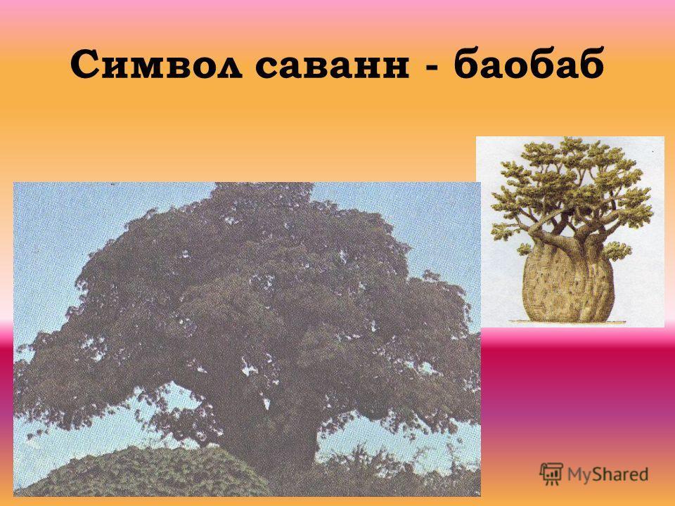 Символ саванн - баобаб