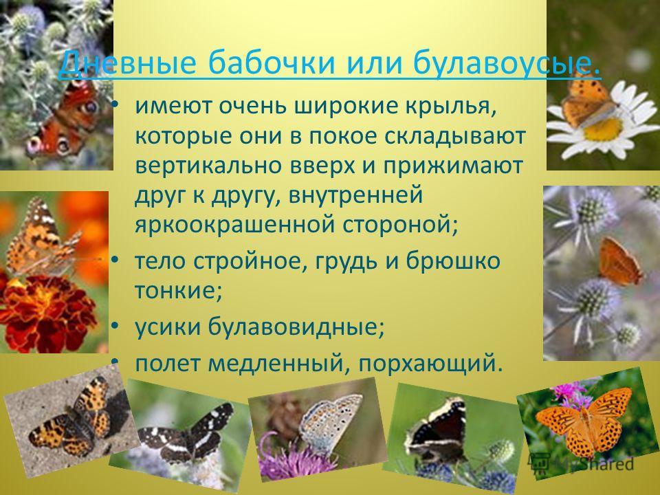 имеют очень широкие крылья, которые они в покое складывают вертикально вверх и прижимают друг к другу, внутренней яркоокрашенной стороной; тело стройное, грудь и брюшко тонкие; усики булавовидные; полет медленный, порхающий. Дневные бабочки или булав