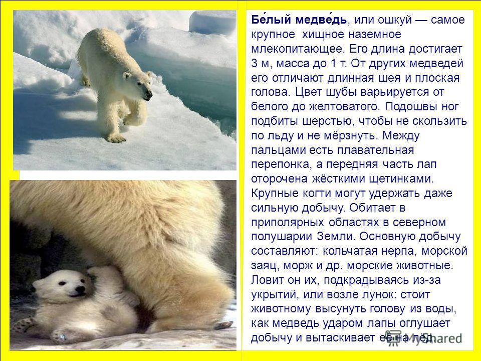 Бе́лый медве́дь, или ошкуй самое крупное хищное наземное млекопитающее. Его длина достигает 3 м, масса до 1 т. От других медведей его отличают длинная шея и плоская голова. Цвет шубы варьируется от белого до желтоватого. Подошвы ног подбиты шерстью,