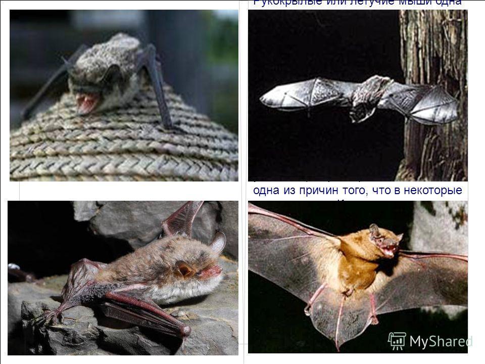 Кожан двуцветный. Рукокрылые или летучие мыши одна из древнейших групп млекопитающих на земле, в то же самое время одна из самых наименее изученных. Это связано в первую очередь со своеобразным скрытным ночным образом жизни и сократившейся в ХХ веке