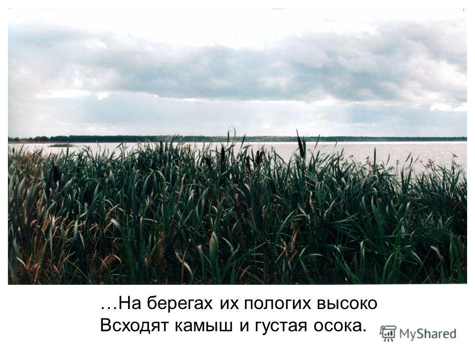 …На берегах их пологих высоко Всходят камыш и густая осока.