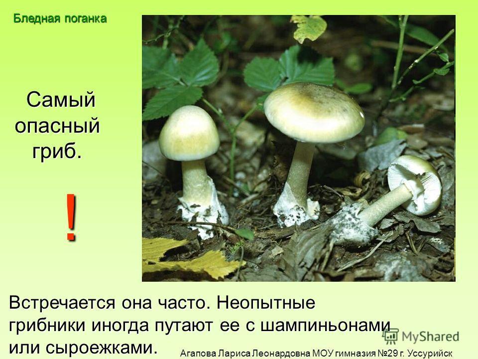Какой гриб самый опасный, Его яд подобен змеиному, Его не едят даже черви ? бледная поганка ! Агапова Лариса Леонардовна МОУ гимназия 29 г. Уссурийск