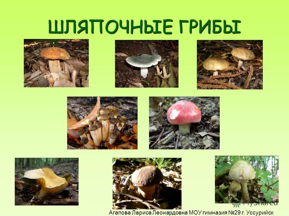 Два гриба имеют опасное сходство с белым. Это несъедобный желчный гриб (очень горький на вкус) и ядовитый сатанинский. сатанинский. ! Агапова Лариса Леонардовна МОУ гимназия 29 г. Уссурийск