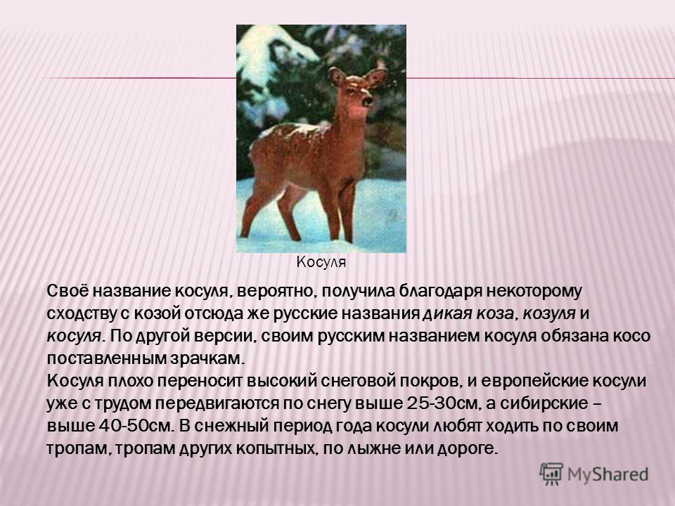 Косуля Своё название косуля, вероятно, получила благодаря некоторому сходству с козой отсюда же русские названия дикая коза, козуля и косуля. По другой версии, своим русским названием косуля обязана косо поставленным зрачкам. Косуля плохо переносит в