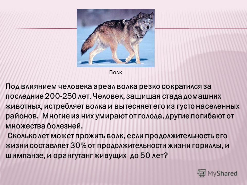 Волк Под влиянием человека ареал волка резко сократился за последние 200-250 лет. Человек, защищая стада домашних животных, истребляет волка и вытесняет его из густо населенных районов. Многие из них умирают от голода, другие погибают от множества бо