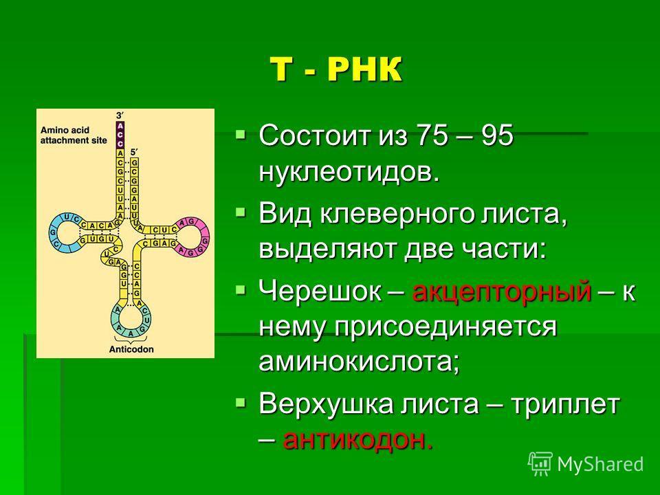 Т - РНК Состоит из 75 – 95 нуклеотидов. Состоит из 75 – 95 нуклеотидов. Вид клеверного листа, выделяют две части: Вид клеверного листа, выделяют две части: Черешок – акцепторный – к нему присоединяется аминокислота; Черешок – акцепторный – к нему при