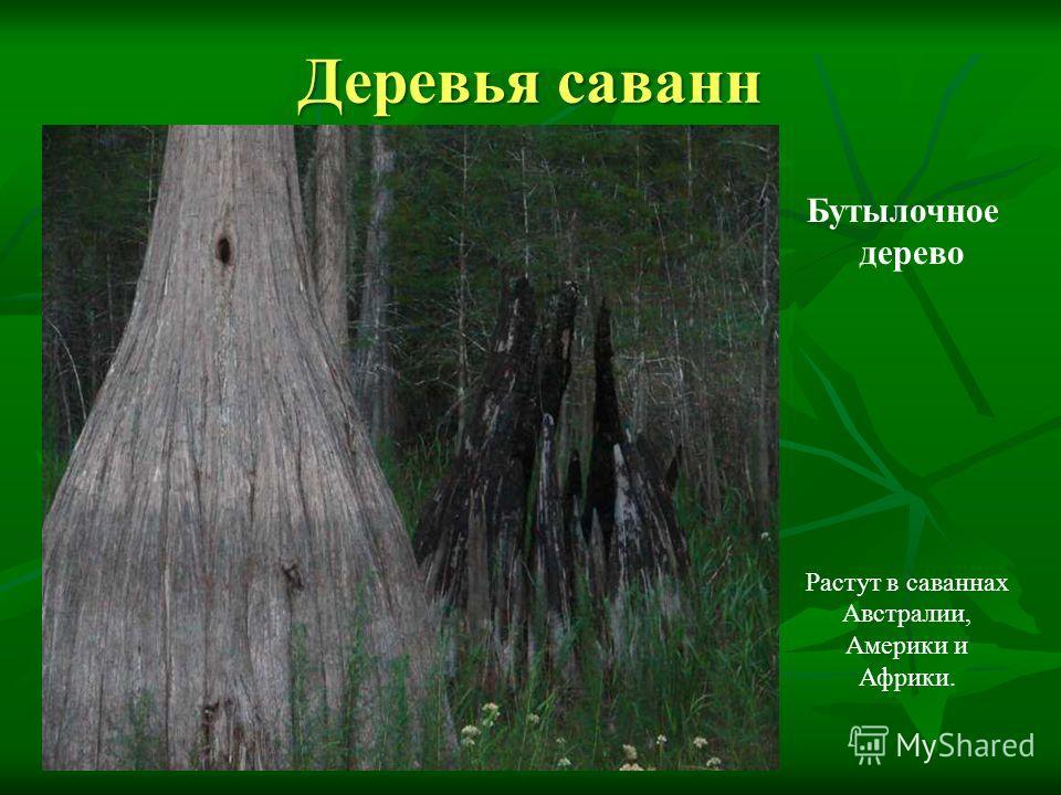 Деревья саванн Растут в саваннах Австралии, Америки и Африки. Бутылочное дерево