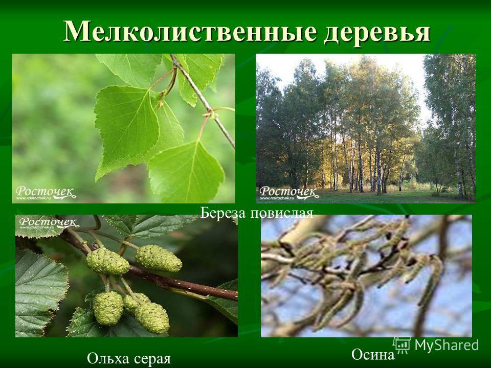 Мелколиственные деревья Береза повислая Ольха серая Осина