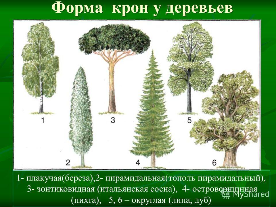 Форма крон у деревьев 1- плакучая(береза),2- пирамидальная(тополь пирамидальный), 3- зонтиковидная (итальянская сосна), 4- островершинная (пихта), 5, 6 – округлая (липа, дуб)