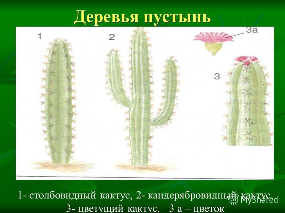 Деревья пустынь 1- столбовидный кактус, 2- кандерябровидный кактус, 3- цветущий кактус, 3 а – цветок