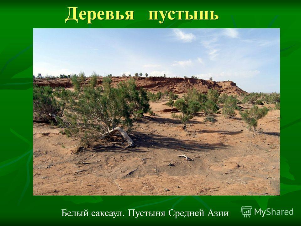 Белый саксаул. Пустыня Средней Азии Деревья пустынь Деревья пустынь