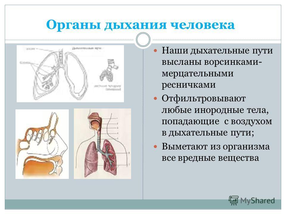 Органы дыхания человека Наши дыхательные пути высланы ворсинками- мерцательными ресничками Отфильтровывают любые инородные тела, попадающие с воздухом в дыхательные пути; Выметают из организма все вредные вещества